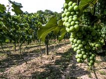 White grapes. Hanging from lush green vine with vineyard background, in Brazil royalty free stock photography