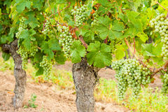 White grapes hanging on a vine old. Royalty Free Stock Photo