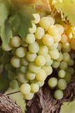 White grapes hanging on the vine in the sun Royalty Free Stock Photo