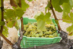 White Grapes Harvest In A Vineyard Stock Image