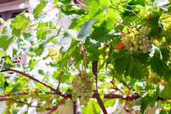 White grapes on house wall Royalty Free Stock Image
