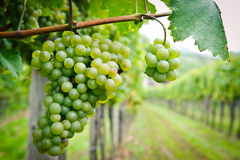 White Grapes In A Vineyard Royalty Free Stock Images