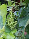 White grapes in June Royalty Free Stock Photos