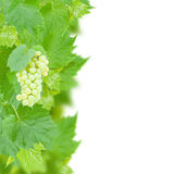 White grapes and leaves border Royalty Free Stock Photos