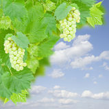 White grapes and leaves in garden Royalty Free Stock Photos