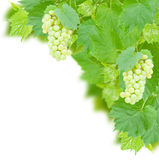 White grapes and leaves Royalty Free Stock Images