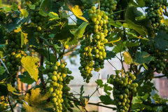 White grapes Stock Photography