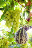 White grapes and pumpkin royalty free stock image