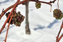 White grapes in the snow Royalty Free Stock Photography