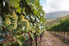 White grapes on summer vines landscape royalty free stock photography