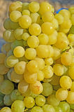 White grapes in the sun Royalty Free Stock Photo