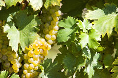 White grapes in sunlight Stock Photos