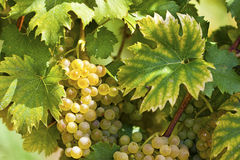 White grapes in sunlight Royalty Free Stock Image