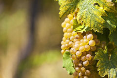 White grapes in sunlight Stock Image