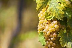 White grapes in sunlight Stock Image