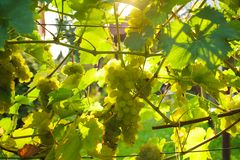 White grapes in a sunny beautiful day stock images