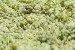 White grapes to make wine Royalty Free Stock Photo