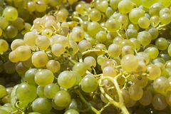 White grapes to make wine Stock Image