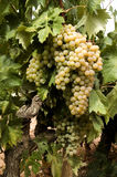 White grapes on vine. A closeup view of several bunches or clusters of ripe, juicy white grapes still growing on the vine, ready for picking Stock Images