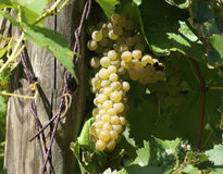 White Grapes on the Vine. Ripened whiite Grapes shown hanging on the vine; grown for wine making in Pennsylvania wine country Stock Images