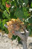 White grapes on the vine, Andalusia. Royalty Free Stock Photos