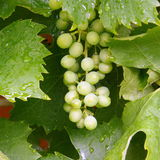 White Grapes on a Vine Royalty Free Stock Photo