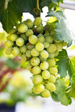 White grapes on a vine Royalty Free Stock Images