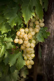 White grapes. On a vine with green leaves Royalty Free Stock Photo