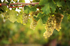 White grapes on vine. White grapes hanging from lush green vine with blurred vineyard background stock images