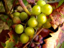 White grapes on the vine Stock Image