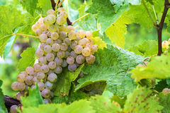 White Grapes on the Vine Royalty Free Stock Images