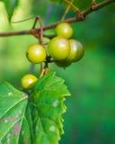 White grapes on vine Royalty Free Stock Photos