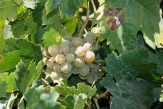 White grapes on the vine, Spain. Ripe white grapes on a grapevine in a vineyard, Montilla, Cordoba Province, Andalusia, Spain, Western Europe Stock Images
