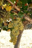 White grapes on the vine, Spain. Stock Image