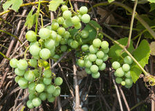 White grapes on the vine Royalty Free Stock Photo