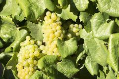 White Grapes Vine Stock Photos