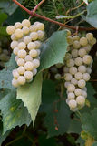 White grapes in a vineyard Royalty Free Stock Photography