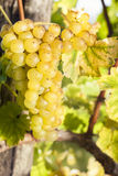 White grapes in vineyard Stock Images