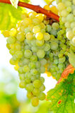White grapes in the vineyard Stock Images