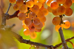 White grapes in the vineyard in autumn Stock Images
