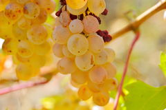 White grapes in the vineyard in autumn Stock Photos