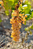 White grapes in the vineyard in autumn Royalty Free Stock Photo