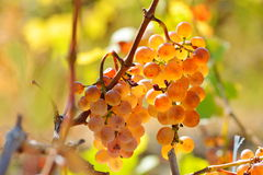 White grapes in the vineyard in autumn Royalty Free Stock Photography