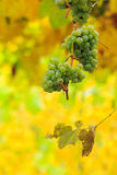 White grapes on vineyard blurred background Stock Photos