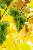 White grapes on vineyard blurred background. Bunch of white grapes hanging on a vine in the vineyard abstract blurred background stock photos