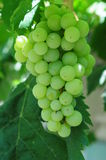 White grapes in vineyard. Grapes cluster on sunlight background Stock Photo
