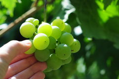 White grapes in vineyard. Grapes cluster on sunlight background Stock Photos