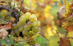 White grapes in the vineyard Stock Photography