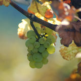 White grapes in the vineyard royalty free stock photo