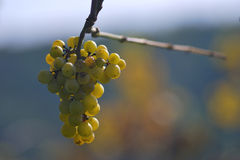 White grapes in the vineyard stock photo